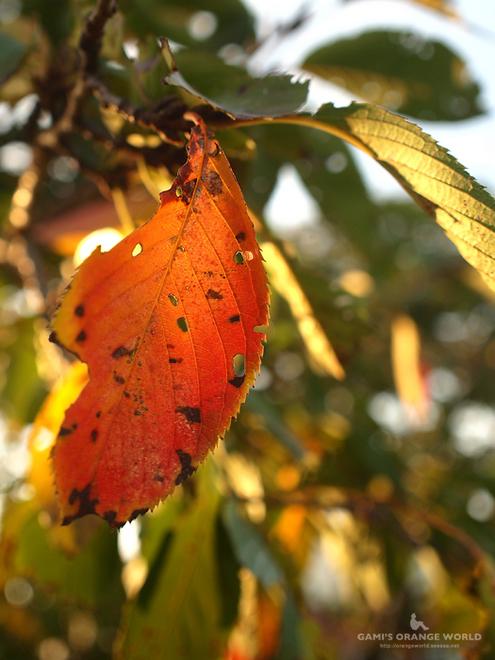 0429桜の紅葉2.jpg