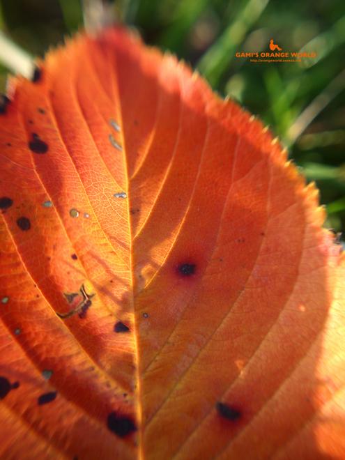 0429桜の紅葉4.jpg