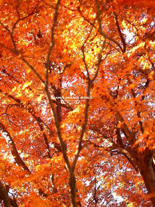 0460花田苑の紅葉2.jpg