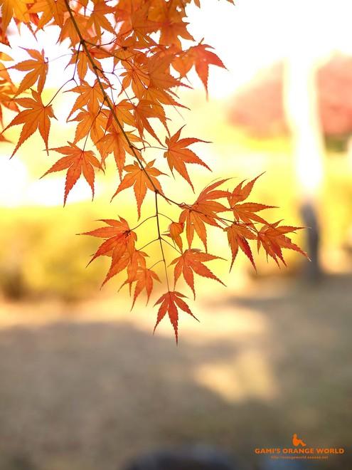 0460花田苑の紅葉8.jpg
