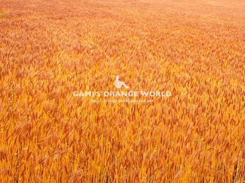 320麦畑2.jpg