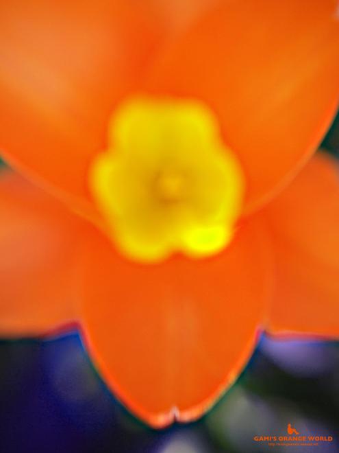 オレンジのチューリップ1.jpg