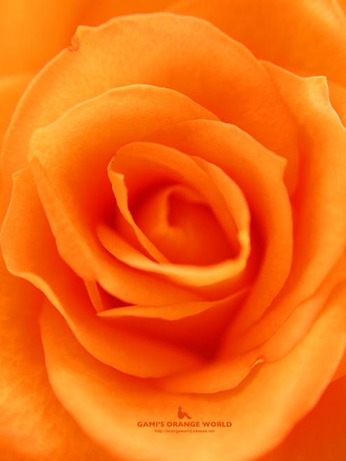 オレンジのバラ3 のコピー.jpg
