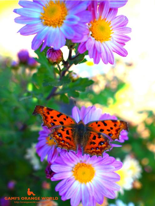 オレンジの蝶キタテハ.jpg