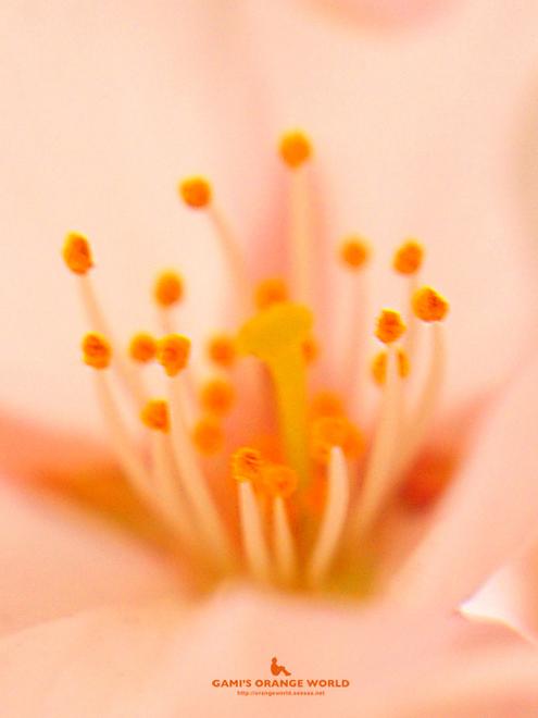 桜の花粉.jpg