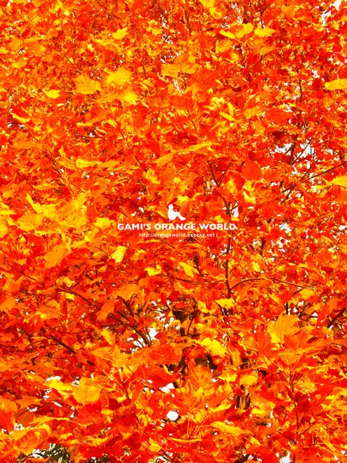 花田4丁目公園の紅葉3.jpg