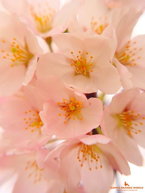 越谷の桜.jpg
