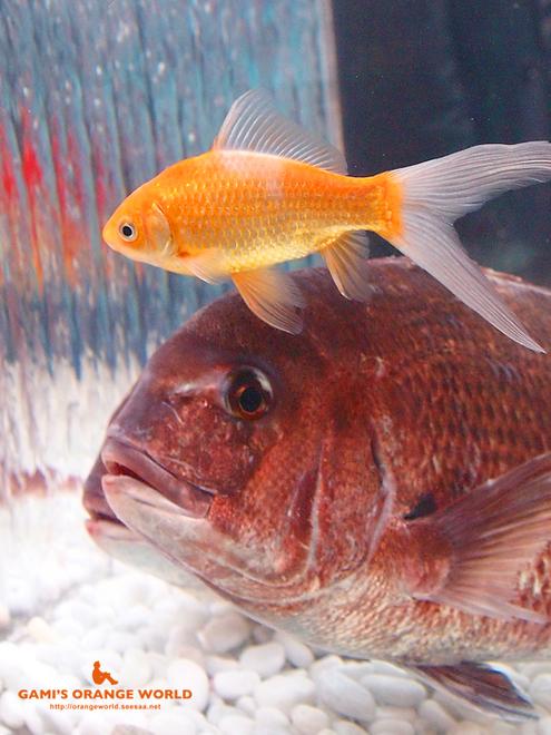オレンジの金魚と鯛.jpg