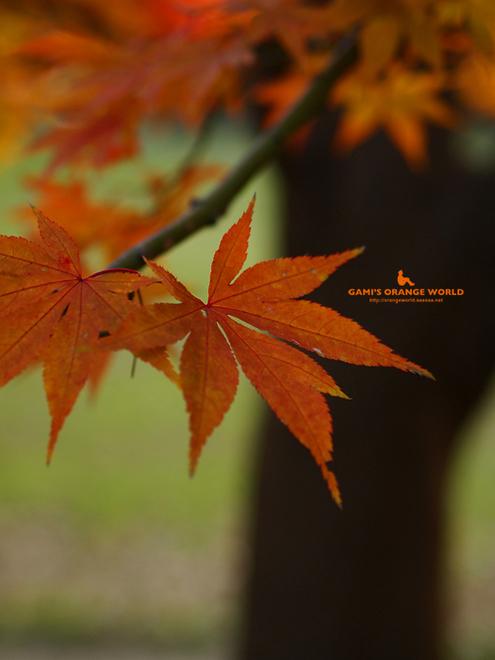0463久伊豆神社の紅葉5.jpg