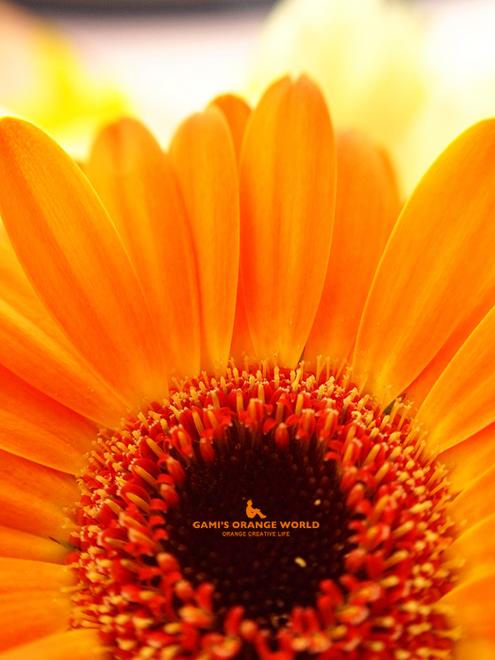 0568オレンジのガーベラ.jpg