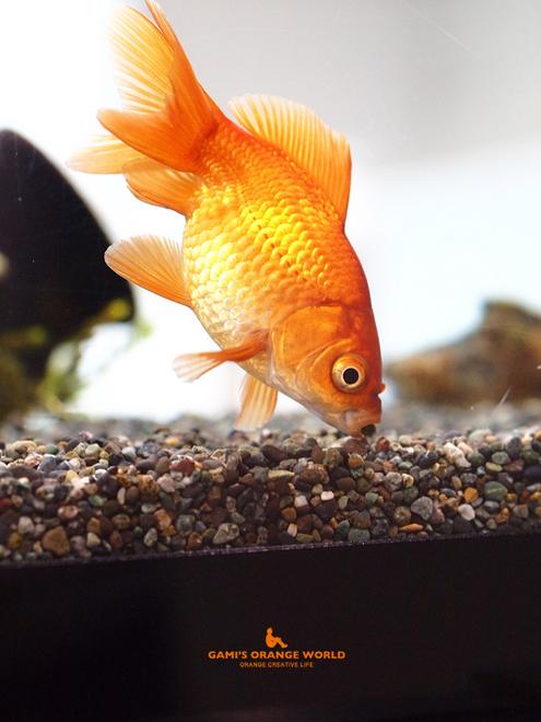 0577金魚2.jpg