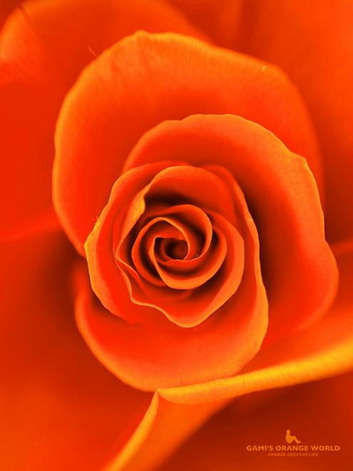 0592まさのさんから頂いたオレンジの薔薇2.jpg