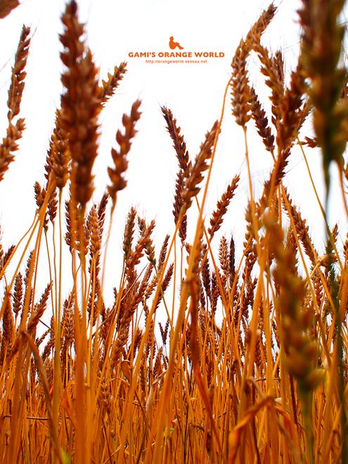 320麦畑1.jpg