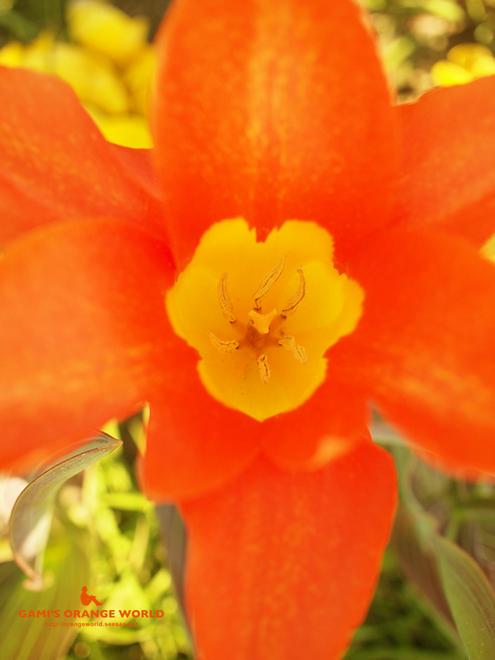 オレンジのチューリップ2.jpg