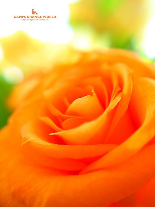 オレンジのバラ2.jpg
