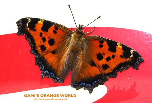オレンジの蝶ヒオドシチョウ.jpg