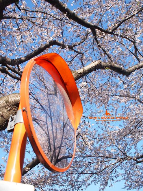 桜とカーブミラー1.jpg