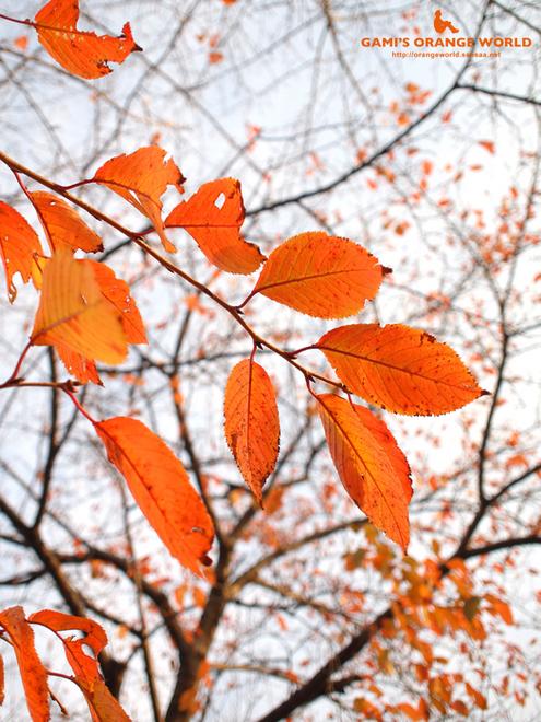 桜の紅葉2.jpg